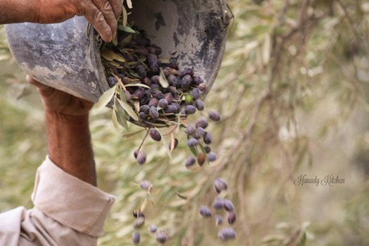 Olive Harvest in Palestine and the Eastern Mediterranean
